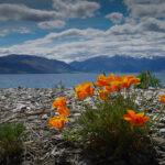 California Poppy Lake Hawea