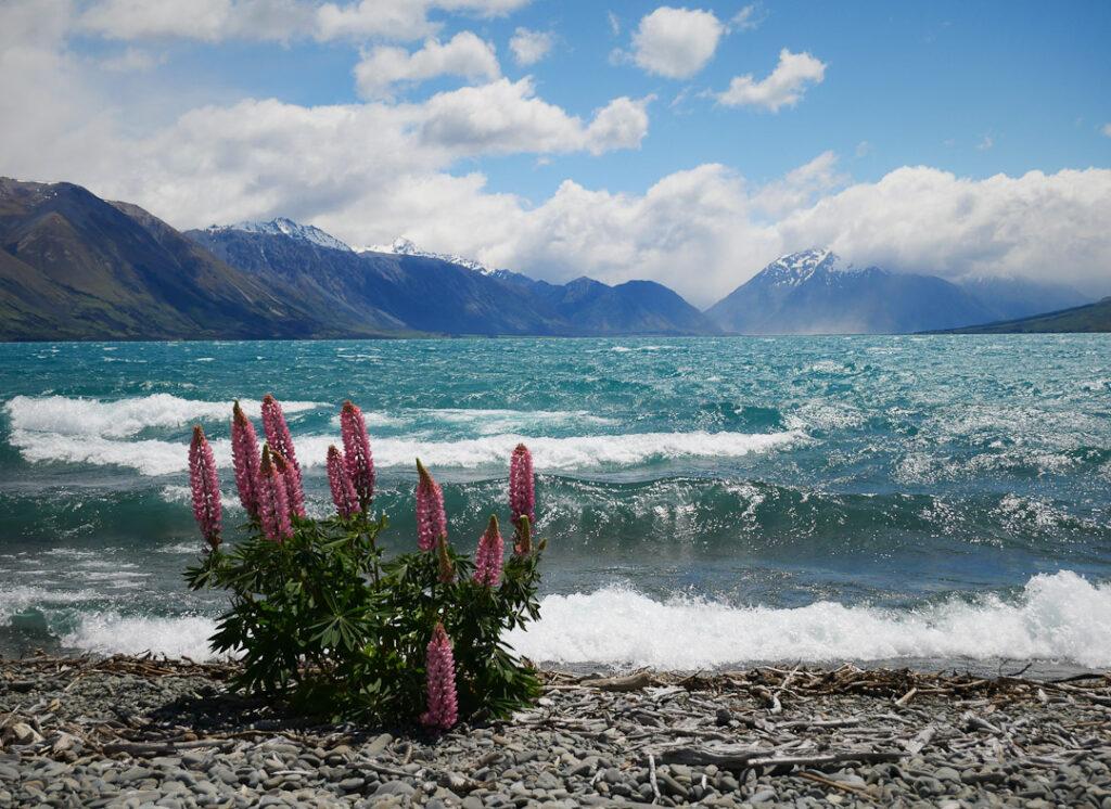 Lake Ohau Lupin