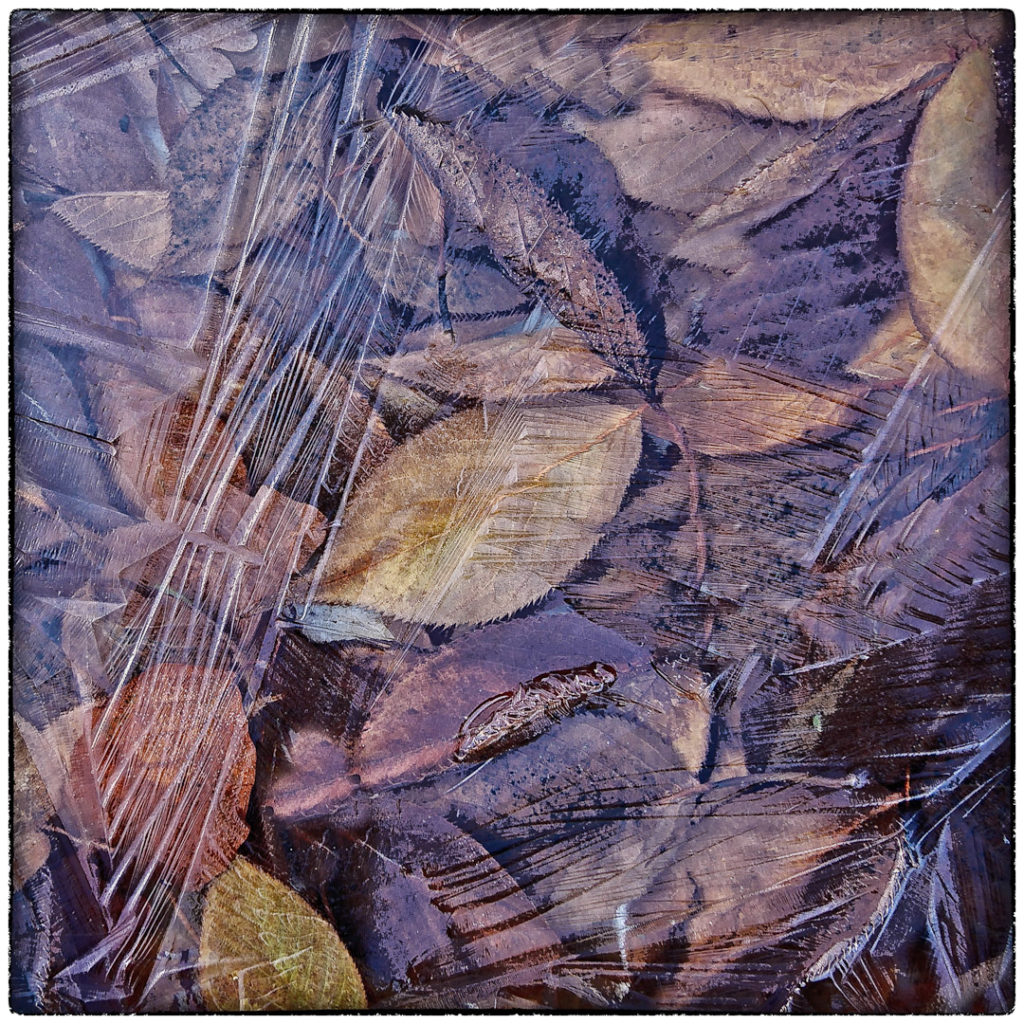 Autumn leaves covered in clear ice