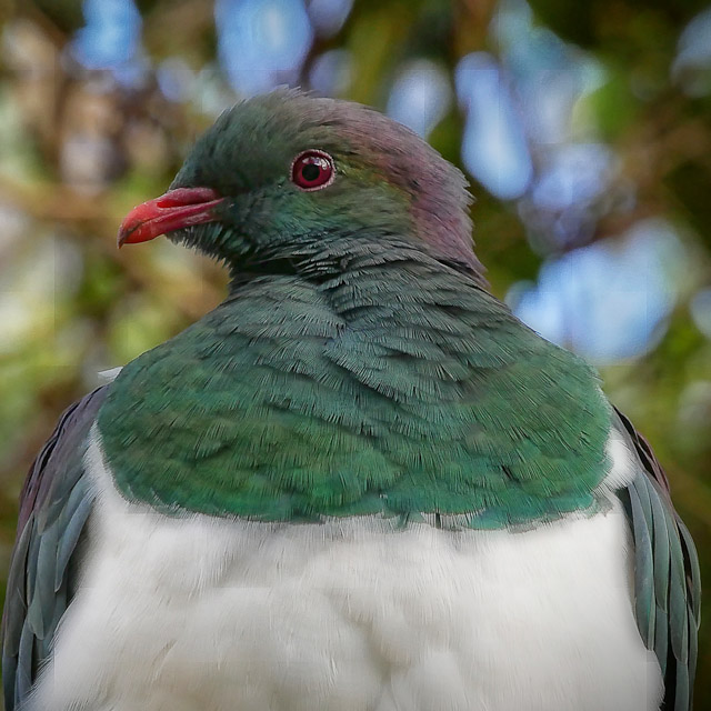 Portrait of a kereru (NZ wood pigeon)