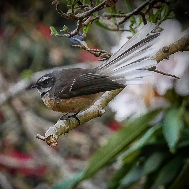 NZ Fantail - piwakawaka on a branch in Dunedin Botanical Gardens
