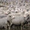 Merino sheep in yards