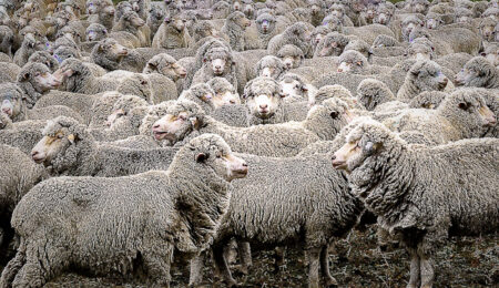 Merino sheep in yards