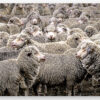 Canvas of merino sheep in yards