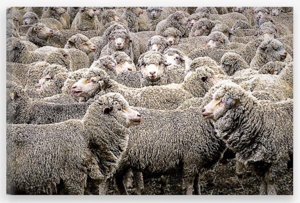 Canvas of merino sheep in yards