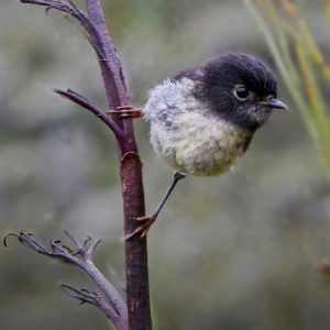 NZ tomtit