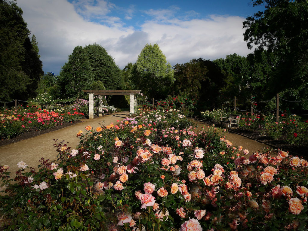 The formal rose garden and camellia collection in the lower Dunedin Botanic Gardens