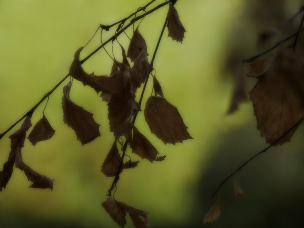 dead birch tree leaves