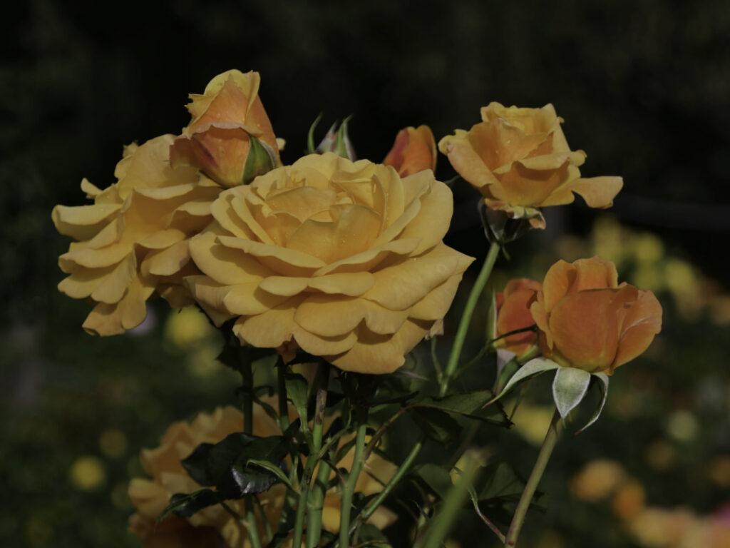 Orange rose in Dunedin Gardens